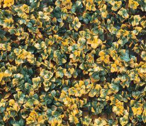 Leucadendron Oranje, B: 50 cm, L: 50 cm, UV & Waterproof