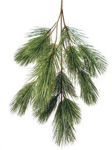 Bonsai Pinus, H: 90 cm