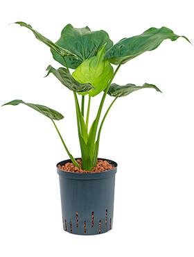 alocasia cucullata bush h 90cm b 50cm potmaat 1819cm