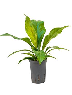 anthurium elipticum jungle hybriden bush h 45cm b 30cm potmaat 1519cm