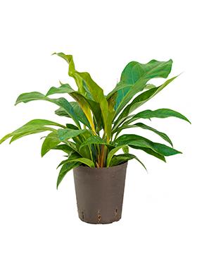 anthurium elipticum jungle hybriden bush h 45cm b 45cm potmaat 1819cm