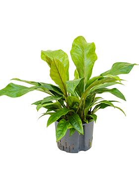 anthurium ellipticum jungle hybriden bush h 55cm b 50cm potmaat 2519cm