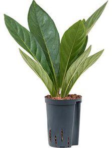 Anthurium jungle hybriden, Bush, H: 45cm, B: 25cm, potmaat: 15/19cm