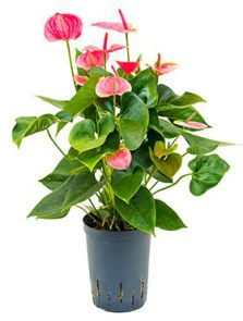 Anthurium sweet dream, Roze, H: 40cm, B: 25cm, potmaat: 15/19cm