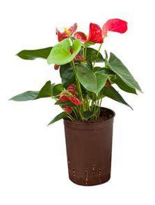 Anthurium sierra, Rood, H: 60cm, B: 25cm, potmaat: 15/19cm