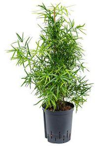 Asparagus falcatus, H: 80cm, B: 30cm, potmaat: 18/19cm