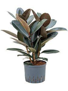 Ficus elastica abidjan, Bush, H: 60cm, B: 40cm, potmaat: 22/19cm