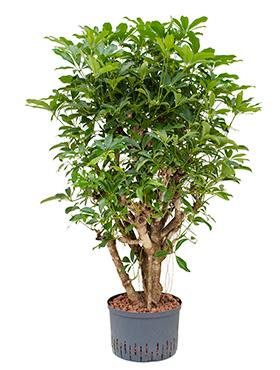 levende planten