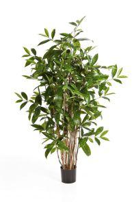 Dracaena Surculosa, H: 120cm