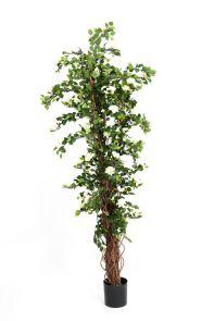 Bougainvillia Wit, H: 210cm