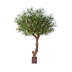 Olijfboom, H: 270cm