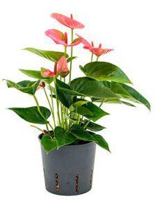 Anthurium sweet dream, Roze, H: 35cm, B: 15cm, potmaat: 13/12cm