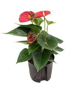 Anthurium sierra, Rood, H: 40cm, B: 15cm, potmaat: 13/12cm