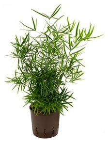 Asparagus falcatus, H: 40cm, B: 15cm, potmaat: 13/12cm