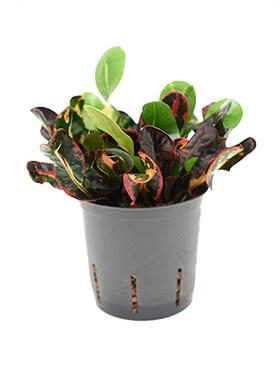 croton codiaeum variegatum mammi toef h 30cm b 15cm potmaat 1312cm