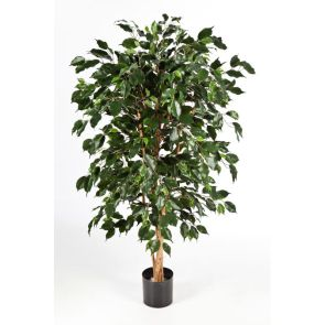 Ficus nitida exotica, H: 180cm