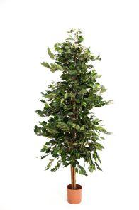 Ficus Exotica Pyramide Groen, H: 210cm