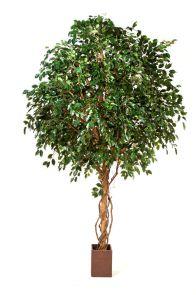 Ficus Exotica Giant Groen, H: 315cm
