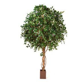 Ficus Exotica Giant Groen, H: 360cm