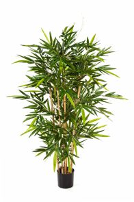 Bamboe de Luxe, H: 150cm