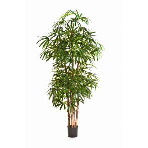Rhapis Ladyfinger palm, H: 200cm