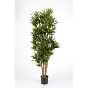 Dracaena Reflexa Groen, H: 120cm