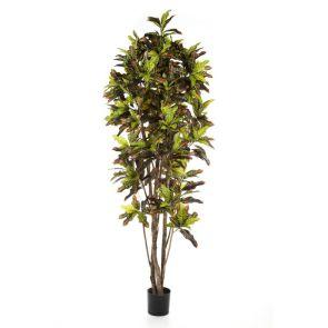 Croton tree Bont, H: 230cm