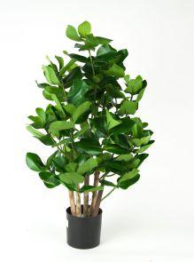 Clusia potted bush, H: 70cm