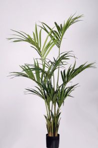 Kentia Palm Groen x 150