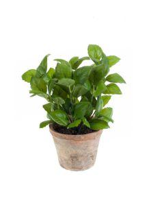 Basilicum, H: 25cm