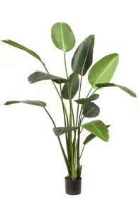 Strelitzia, H: 190cm