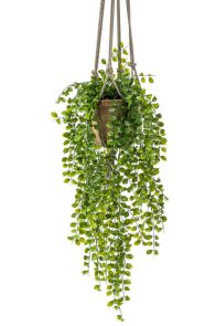 Ficus Pumilla Hanging Bush x6, H: 80 cm in TC Hanging Pot, H: 16 cm