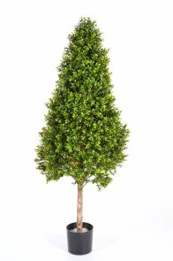 Buxus Pyramide op Stam, H: 105cm