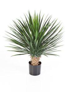 Yucca Rostrata de Luxe Groen, H, 80cm