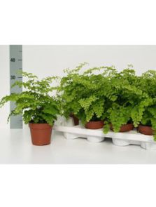 Adiantum raddianum fragrans 6/tray, H: 30cm, B: 25cm, potmaat: 12cm