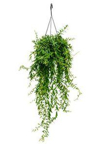 Aeschynanthus japhrolepis, Hanger, H: 55cm, B: 30cm, potmaat: 15cm