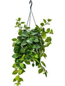 Aeschynanthus mona lisa, Hanger, H: 40cm, B: 30cm, potmaat: 15cm