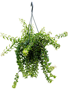 aeschynanthus twister hanger h 25cm b 35cm potmaat 15cm
