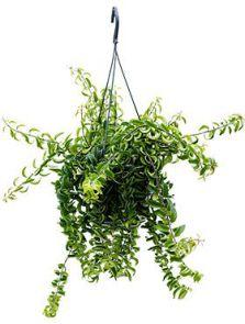 Aeschynanthus 'Twister', Hanger, H: 25cm, B: 35cm, potmaat: 15cm