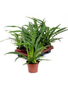Aglaomorpha coronans 6/tray, Bush, H: 20cm, B: 30cm, potmaat: 12cm
