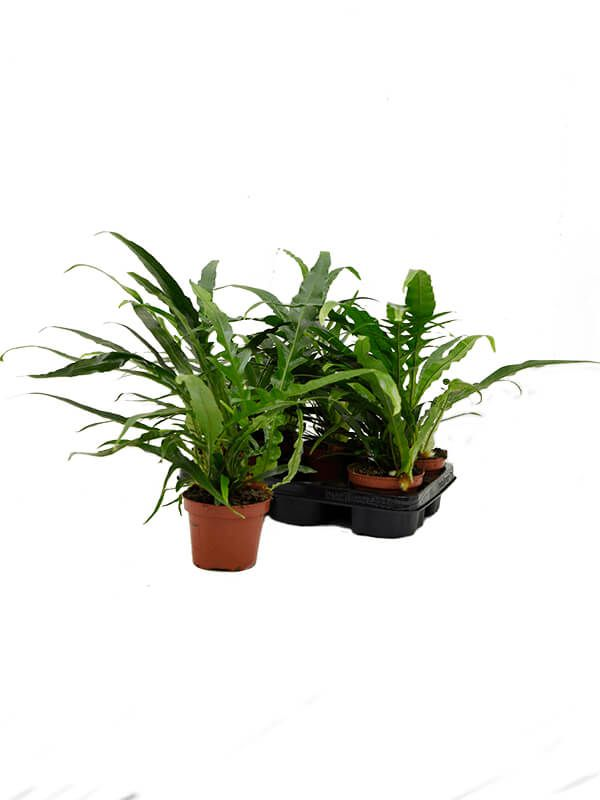aglaomorpha jim 6tray bush h 30cm b 30cm potmaat 12cm