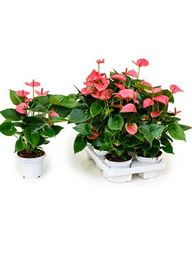 anthurium and pink champion 6tray rose h 40cm b 30cm potmaat 12cm