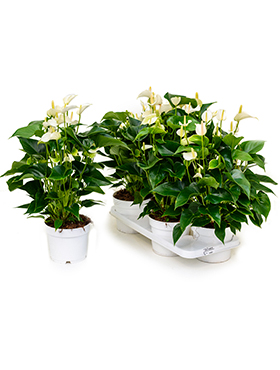 anthurium andraeanum white champion 4tray bush wit h 55cm b 35cm potmaat 17cm