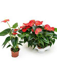 Anthurium andraeanum 'Bambino' 6/tray, Rood, H: 30cm, B: 20cm, potmaat: 9cm