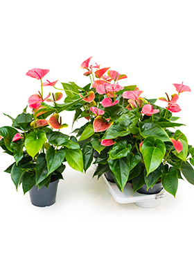 anthurium and sweetdream 4tray rose h 60cm b 35cm potmaat 17cm
