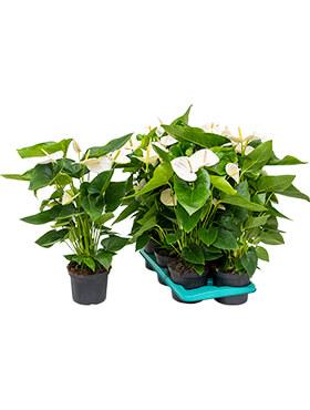 anthurium andraeanum alaska 6tray bush wit h 60cm b 35cm potmaat 17cm