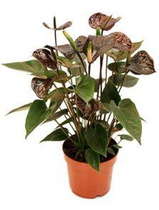Anthurium andraeanum 'Black' 6/tray, Zwart, H: 35cm, B: 30cm, potmaat: 12cm