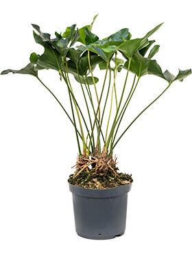 anthurium arrow bush h 100cm b 70cm potmaat 32cm