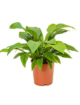 anthurium elipticum jungle bush bush h 65cm b 55cm potmaat 24cm