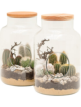 arrangement cacteen 2tray cactus arrangement in glas h 30cm b 19cm potmaat 19cm